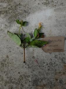 Canongate Dunbar's Close 180820 Honeysuckle