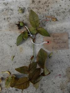 Canongate Dunbar's Close 180820 Rose gallica