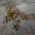 Canongate Dunbar's Close 180820 Samask Rose