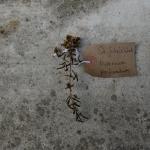 Canongate Dunbar's Close 180820 St John's Wort